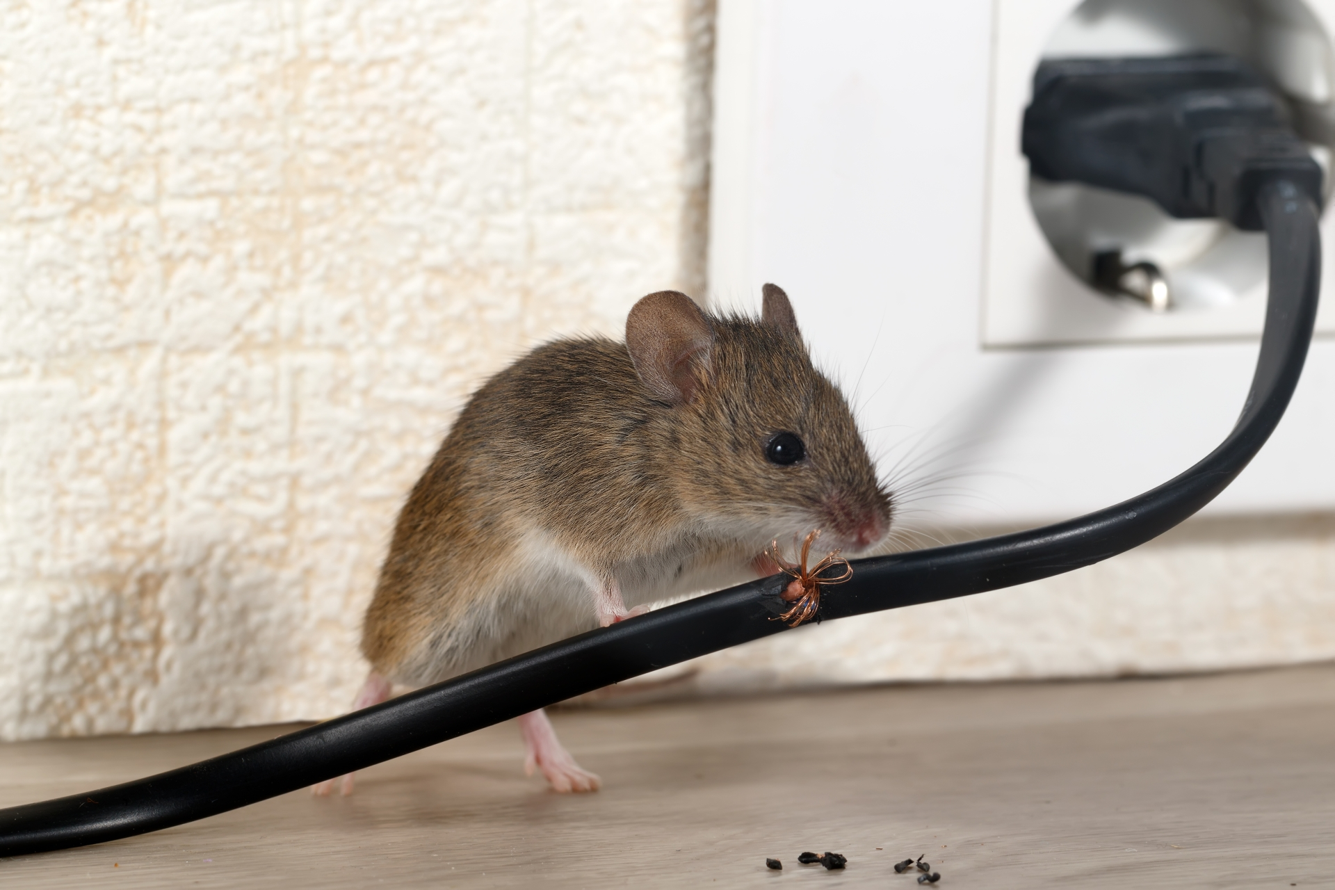 Mice Infestation, Pest Control in Chelsea, SW3. Call Now 020 8166 9746