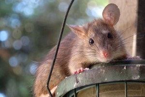 Rat extermination, Pest Control in Chelsea, SW3. Call Now 020 8166 9746