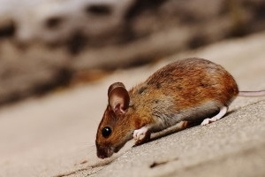 Mouse extermination, Pest Control in Chelsea, SW3. Call Now 020 8166 9746