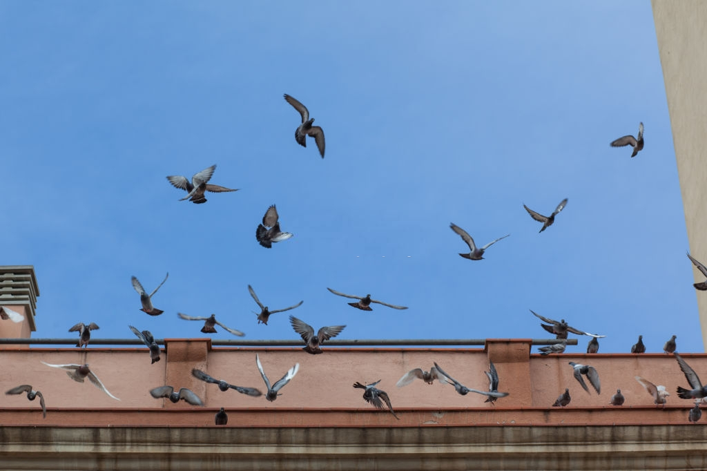 Pigeon Control, Pest Control in Chelsea, SW3. Call Now 020 8166 9746